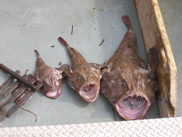 different_size_monkfish