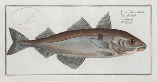 Haddock NYPL