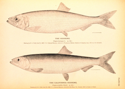 Herring, NOAA Digital Library