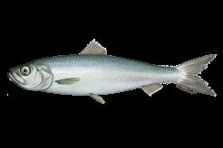 Herring fishwatch.gov