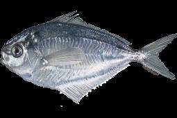 butterfish fishwatch