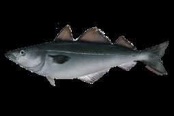 pollock fishwatch.gov