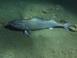 sablefish blackcod